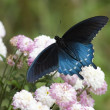 Black Swallowtail — Stock Photo #8468398