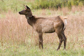 Young Elk — Stock Photo