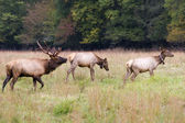 Elk Family — Stock Photo