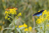 Black Swallowtail and Gulf Frittilary on Yellow Wildflowers — Stock Photo