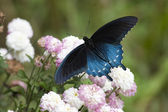 Black Swallowtail — Stock Photo