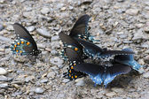 Pipevine Swallowtail Butterflies — Stock Photo