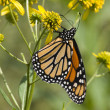 Monarch Butterfly on Yellow Flowers — Stock Photo #8470304