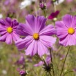 Purple Cosmos — Stock Photo
