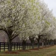 Stock Photo: Bradford Pear Trees in Bloom