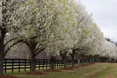 Bradford Pear Trees in Bloom — ストック写真