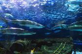 Sharks in Aquarium — Foto Stock