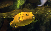 Yellow Puffer Fish — Stockfoto