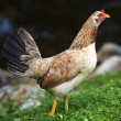 Chicken Strutting — Stock Photo #8963491
