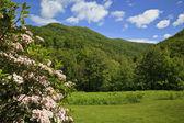 Laurel de montaña — Foto de Stock