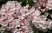 Mountain Laurel — Stockfoto