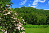 Mountain Laurel — Stock Photo