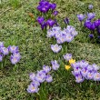 Постер, плакат: Crocus in the Yard