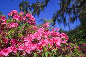 Pink Azaleas — Stock Photo