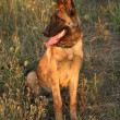 Stock Photo: Malinois