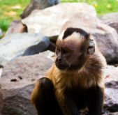 Brown monkey — Stock Photo