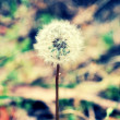 Single dandelion in grass — Stock Photo