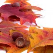 Oak leafs and acorns — Stock Photo