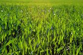 Grün weizen — Stockfoto