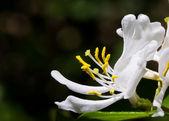 White Honeysuckle Blossom — Stock Photo