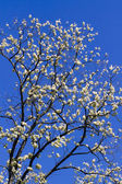 Black Locust Blooming with Blue Sky — Stock Photo