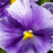 Wet Purple Pansy Flower — Stock Photo