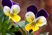 Viola Tricolor Flower — Stock Photo