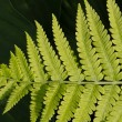Lady Fern Frond — Stock Photo