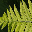 Lady Fern Frond — Stock Photo #10553992