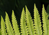 Lady Fern Frond Close — Stock Photo