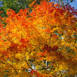 Glorious Fall Maple — Stock Photo