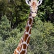 Giraffe, tallest animal - Stock Photo