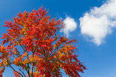 Giant Fall Tree and Clouds — Stock Photo