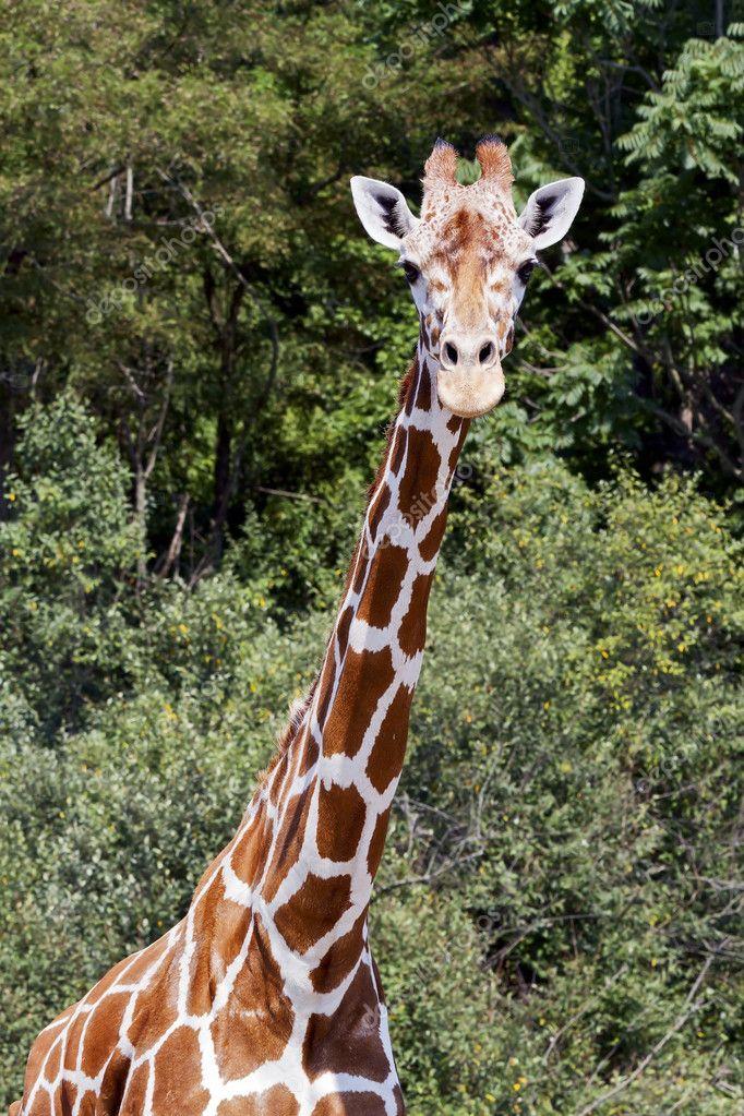 World's Tallest Living Animal