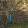 Peacock showing off — Stock Photo #10156820