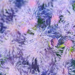 Ageratum — Stock Photo #10167124