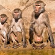 Royalty-Free Stock Photo: Three baboons of different ages.