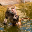 Royalty-Free Stock Photo: Baboon in a water