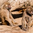 Stock Photo: Two male baboons in ZOO