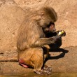 Male Baboon eating apple - Stock Photo