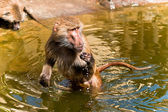 Baboon in a water — Stock Photo