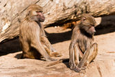 Two male baboons in a ZOO — Stock Photo