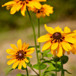 Yellow flowers Rudbekia vertical — Stock Photo