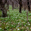 Spring forest glade in snowdrops — Stock Photo #10068313