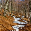 Spring beech forest — Stock Photo #10068388