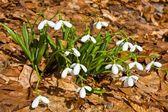 Beautiful spring snowdrops — Stock Photo