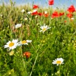 White camomile and red poppies — Stock Photo