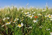 Para fotos camomiles brancos em uma grama — Foto Stock