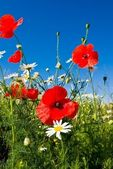 Beautiful steppe flowers — Stock Photo