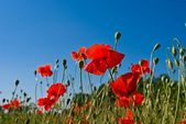 Closeup red poppies — Stock Photo